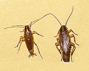 チャバネゴキブリ(成虫)