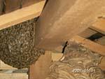 屋根裏のミツバチの巣