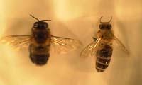 ミツバチのオスとメス
