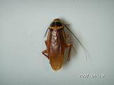 コワモンゴキブリ