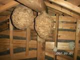 屋根裏のスズメバチの巣